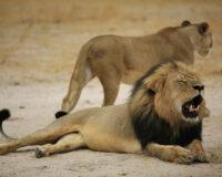 Mơ thấy sư tử là điềm tốt hay xấu và bộ số may mắn là gì